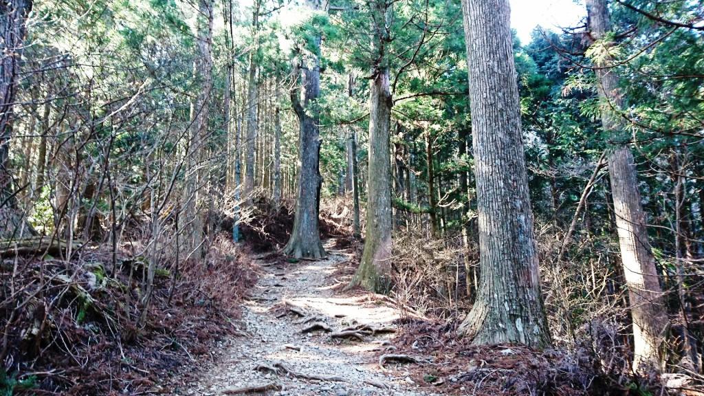 秋葉寺の大杉3