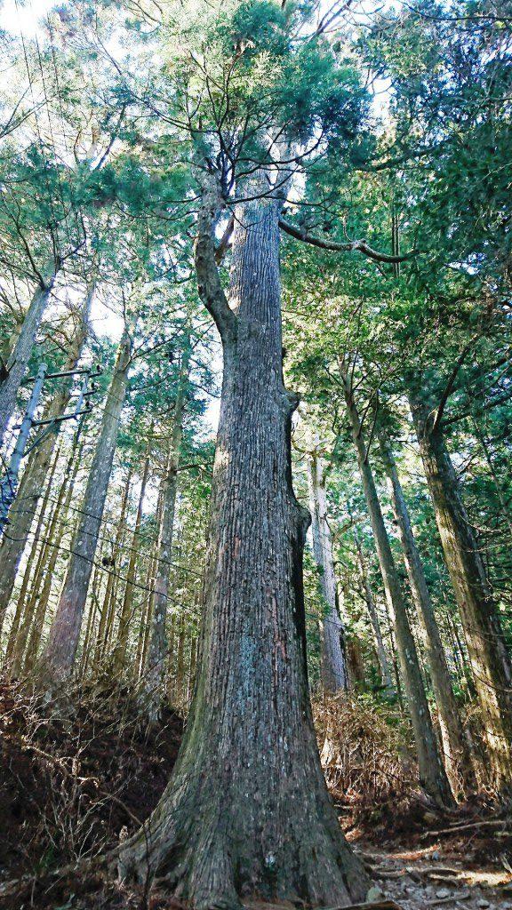 秋葉山の大杉